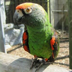 baby jardine parrot handfed very friendly for sale at T T PETS