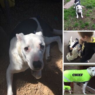 FREE - ONLY TO THE BEST OF HOMES! Border Collie x Bull Terrier (7yro)