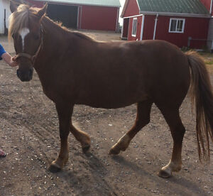 NEW FOREST PONY to sell! Kitchener / Waterloo Kitchener Area image 4