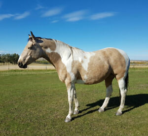 Special Paint/Warmblood x 9 Year Old Mare