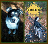 STRONG, HANDSOME, AVAILABLE...YUKON NEEDS A FOSTER/FOREVER HOME