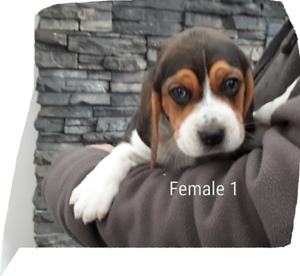 Beagle puppies ONLY 1 LEFT!!