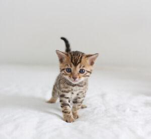 Brown Bengal kittens: TICA Registered