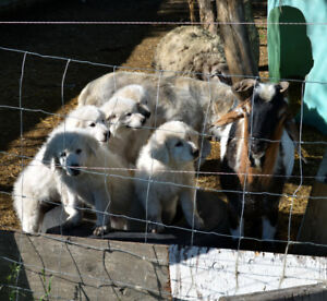 Registered Maremma LG puppies for sale