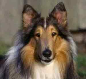 Family looking for a Lassie Collie or Sheltie