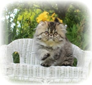 Persian Kittens CFA/CCA REG - Vetted/Vaccinated/Health Tested