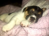 Miniature jack Russell pups