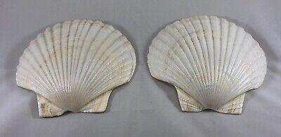 "Polished Scallop Sea Shells Lot of 2 - 6"" Long 6 1/4"" Wide Nautical Beach Decor"