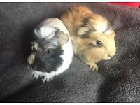 X5 baby Guinea pigs