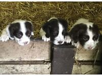 Cocker Spaniel Puppies For Sale - All Female - Ready This Week!