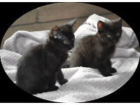 2 Black Brexit Kittens looking for new good home