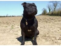 Loving Family Staffy for sale - good with kids & other dogs - KC Registered & micro chipped