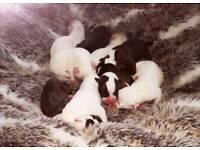 American bulldog puppi