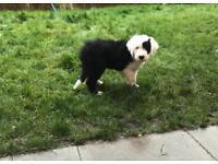 Female Old English Sheepdog 11 weeks old KC Registered