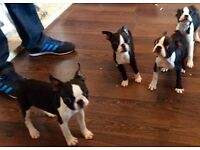 Pedigree Boston Terrier Pups for sale