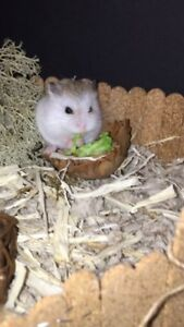 Cute Baby Robo Hamster with Cage, Bedding and Food!