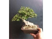 Quality Shohin Yamadori Wild Olive Bonsai