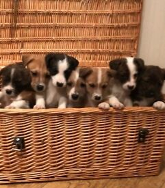 Absolutely gorgeous Jack Russell X puppies.