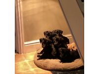 3 Gorgeous Lab x Pointer Puppies