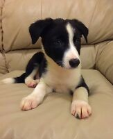 Border Collie Puppy - With 1st Shots & Deworming!