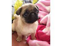 Pug baby boy 3 months old