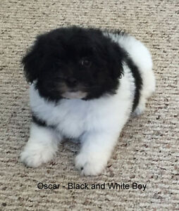 Gorgeous Shih-tzu Pom Cross
