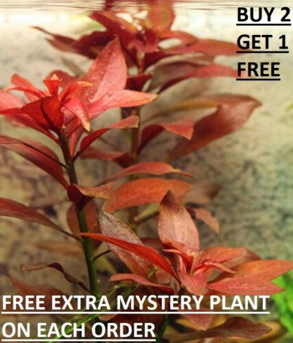 "Ludwigia Repens ""Rubin"" - Live Aquarium Plants Bunch Fish Tanks BUY2GET1FREE"
