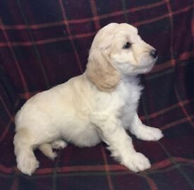 Miniature labradoodle puppies F1B