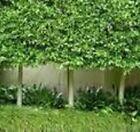 Silt Trees