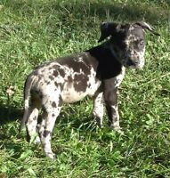 Beautiful Reg Great Dane Puppies from longevity lines 10-12 yrs