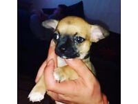 Pedigree chihuahua puppies pups