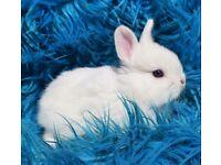mini lop,rabbits