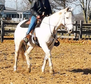 Can. warmblood broodmare or trail horse