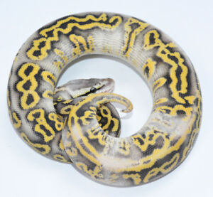 Ball pythons available from hatchlings to adults