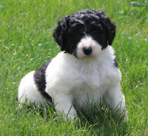 Goldendoodle F1B Puppies