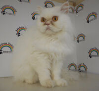 """PERSIAN """"IVAN""""  -- Fixed & Vaccinated -- @ Small Things"""