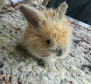 Baby English Angora Rabbits