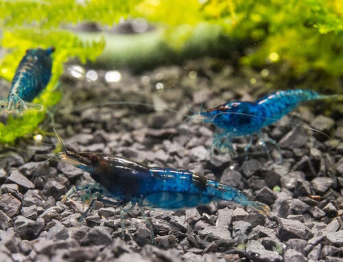 Blue Dream Neocaridina 10+2: TWO FREE ITEMS, FREE SHIPPING