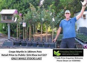 Crepe Myrtle Lagerstroemia Vibrant Colours Plants 180mm Pots Mudgeeraba Gold Coast South Preview
