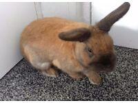 Beautiful Male Dwarf House Rabbit