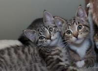 Seeking responsible adopters for 2 kittens