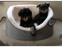 Gorgeous miniature schnauzer puppies
