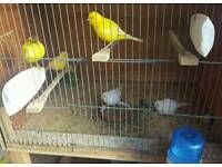 Canaries for sale 2016 bred