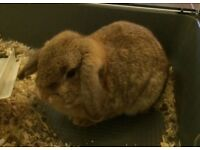 Winnie dwarf lop 9 months