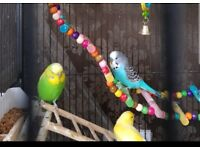 Young Green/Yellow /Blue/Dusty Blue Budgies