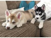 2 Siberian husky puppies