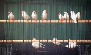 Zebra finches show quality Mays Hill Parramatta Area Preview