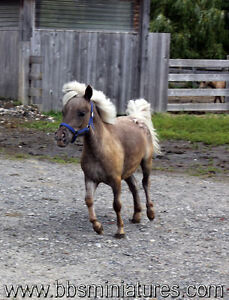 Miniature horse gelding, cheval mini guilding