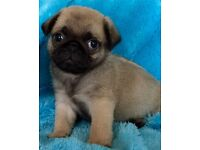 Last male pug puppy ........Full bred...