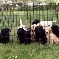 MINI GOLDENDOODLE puppies. GOLD or BLACK coloured